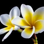 Thai Smile - Jasmine by pixabay.com