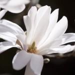 Thai Smile - White Michelia by pixabay.com